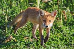 Junger Fuchs schnüffelt den Wind Lizenzfreie Stockfotos