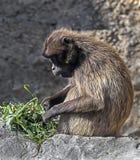 Junger Gelada-Pavian Stockfotografie