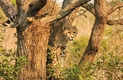 Junger Gepard im Baum Lizenzfreie Stockfotografie