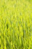 Junger Gerstenhintergrund Stockbilder