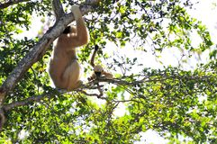 Junger Gibbon-Affe und -mutter Lizenzfreies Stockfoto
