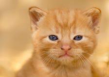 Junger Ginger Kitten auf goldenem Hintergrund lizenzfreies stockbild