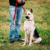 Junger glücklicher osteuropäischer Schäfer Dog, das an sitzt lizenzfreies stockbild
