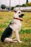 Junger glücklicher osteuropäischer Schäferhund, der herein sitzt lizenzfreie stockfotografie