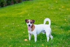 Junger glatt-überzogener Jack Russell Terrier-Hund lizenzfreies stockbild