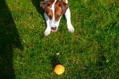 Junger glatt-überzogener Jack Russell Terrier-Hund lizenzfreie stockfotografie