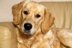 Junger goldener Apportierhund. Lizenzfreies Stockfoto