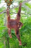 Junger Gorilla Stockfotos