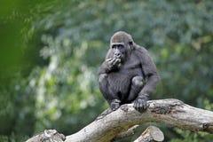 Junger Gorilla, der auf einem Baumast sitzt Lizenzfreie Stockfotos