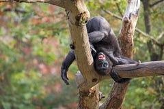 Junger Gorilla, der auf seinem Kopf steht Stockbilder
