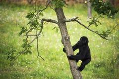Junger Gorilla, der den Stamm eines Baums klettert Stockbild