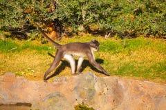 junger Gorilla, der in Natur geht Lizenzfreies Stockfoto