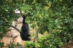 Junger Gorilla, der von der Niederlassung eines Baums hängt Lizenzfreie Stockfotografie