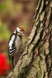 Junger größerer beschmutzter Specht, welche nach Insekten auf einem Baum t sucht Stockfotografie
