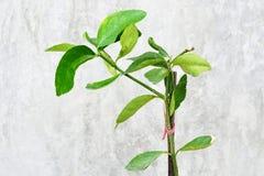 Junger grüner Baum stockbild