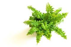 Junger grüner Farn mit gelockten Blättern Lizenzfreies Stockfoto
