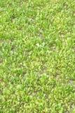 Junger grüner Gemüsebau Stockbild