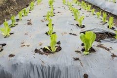 Junger grüner Kopfsalat Stockfotografie