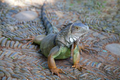 Junger grüner Leguan Stockfoto