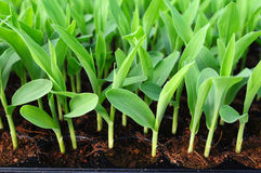 Junger grüner Mais, Mais, Sämling des süßen Mais Lizenzfreies Stockbild