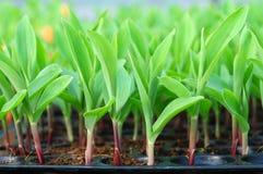Junger grüner Mais, Mais, Sämling des süßen Mais Stockbild