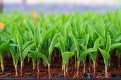 Junger grüner Mais, Mais, Sämling des süßen Mais Stockfoto