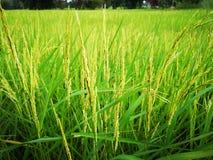 Junger grüner rice†‹Paddy stockfotografie
