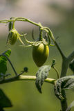 Junger grüner Roma Tomato auf Anlage Lizenzfreie Stockbilder