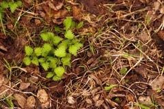 Junger grüner Sprössling, der in den trockenen Blättern wächst Lizenzfreie Stockfotografie