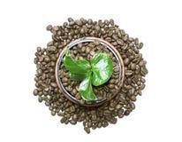 Junger grüner Sprössling eines Baums, der aus den Kaffeebohnen heraus wächst Stockfoto
