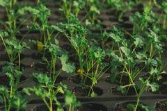 Junger grüner Sprössling im Boden in den Kästen Lizenzfreie Stockfotografie