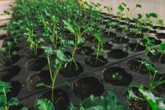 Junger grüner Sprössling im Boden in den Kästen Stockbilder