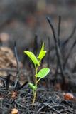 Junger grüner Sprössling nach Feuer Lizenzfreie Stockbilder