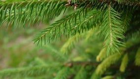 Junger grüner Tannenbaumast, der in die Brise des hellen Winds sich bewegt nahaufnahme stock footage
