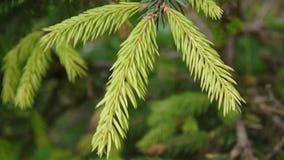 Junger grüner Tannenbaumast, der in die Brise des hellen Winds sich bewegt nahaufnahme stock video