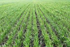 Junger grüner Weizen Stockfoto