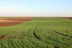 Junger grüner Weizen auf dem Gebiet Lizenzfreies Stockbild