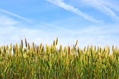 Junger grüner Weizen im Himmelhintergrund Lizenzfreies Stockfoto
