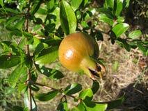 Junger Granatapfel Lizenzfreie Stockbilder