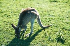 Junger grauer Känguru, der Gras isst lizenzfreie stockbilder