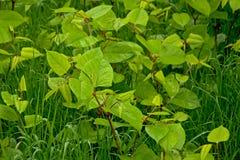 Junger gree Japaner knotweed Anlagen im Gras - Fallopia-japonica Lizenzfreie Stockfotos