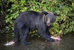 Junger Grizzlybär mit Lachs bleibt Stockfotografie