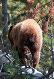 Junger Grizzlybäreber, der auf Anmeldung Yellowstone Nationalpark in Wyoming USA geht stockfotos