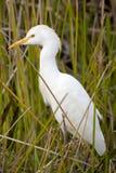 Junger großer Reiher (Ardea alba) Lizenzfreies Stockbild