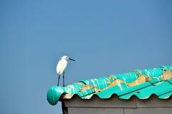 Junger großer weißer Reiher auf Dach Stockbilder