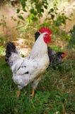 Junger Hahn, der für Lebensmittel im Sommergras herumsucht Lizenzfreies Stockfoto