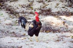 Junger Hahn mit goldenen Federn Hahn, der draußen geht Stockbild