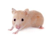 Junger Hamster Stockfoto