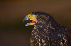 Junger Harris-Falke IV Stockfotos