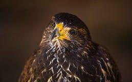 Junger Harris-Falke VI Stockfoto